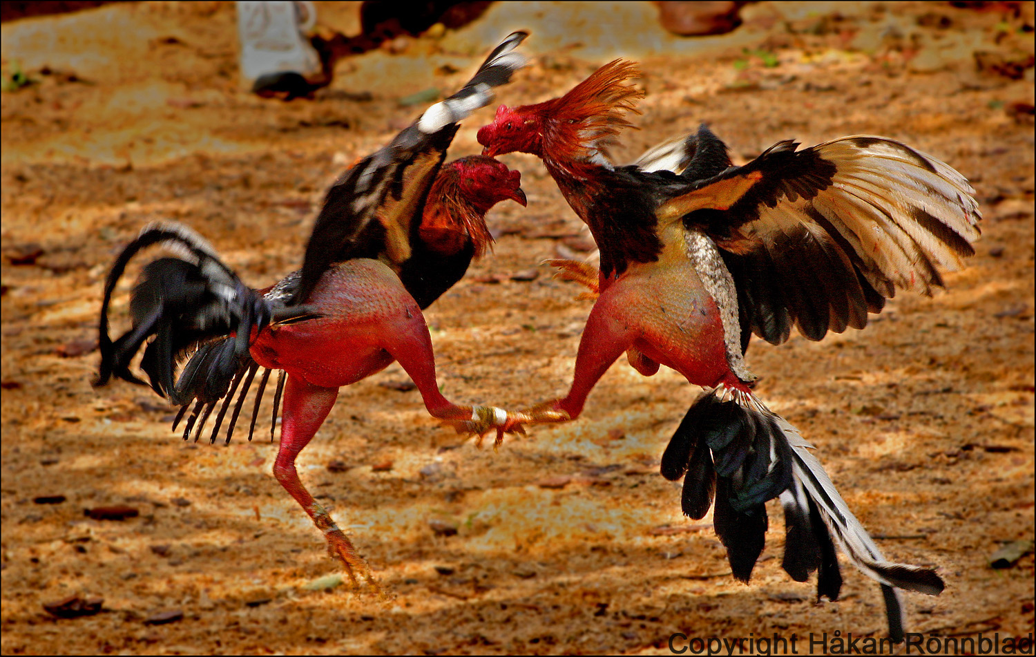 Video fighting cock
